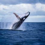 Bitcoin : des études confirment que les baleines (Whales) n'ont aucun impact sur le marché des crypto-monnaies
